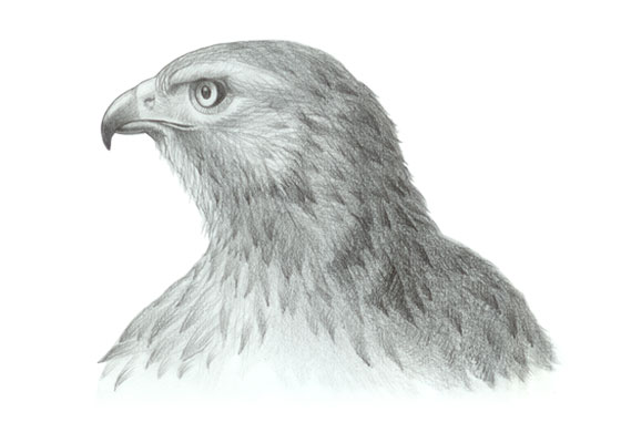 Hawk head drawing