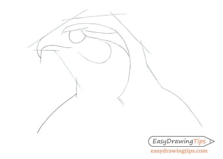 Hawk head proportions drawing