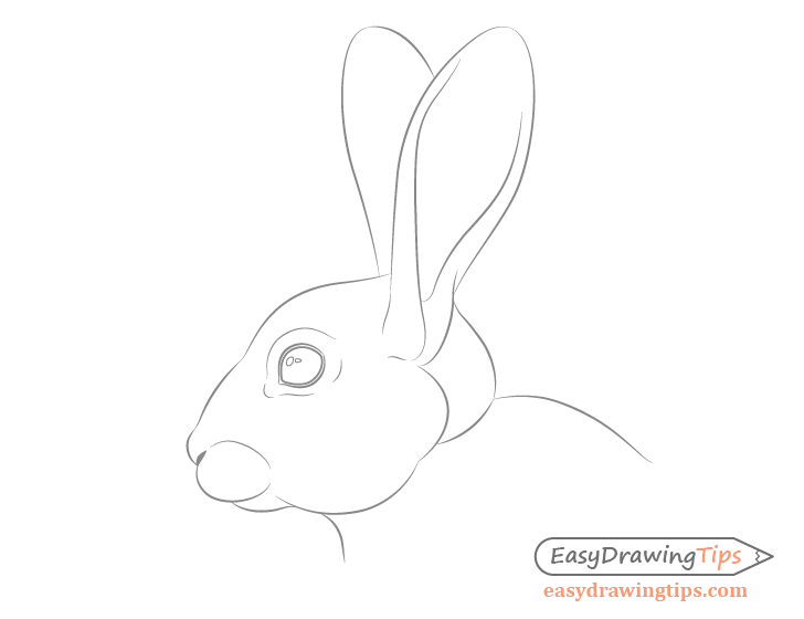 Rabbit facial features detailed drawing
