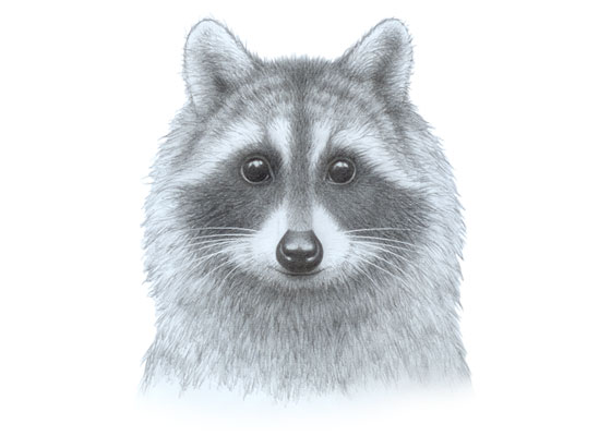 Raccoon face drawing tutorial