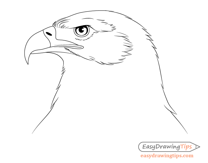 Eagle forehead details drawing