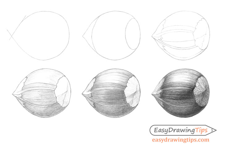Hazelnut drawing step by step